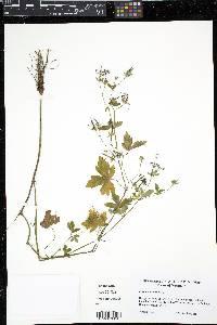 Geranium sibiricum image